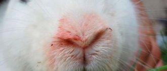 пастереллез у кролика