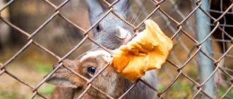 кролики едят булку