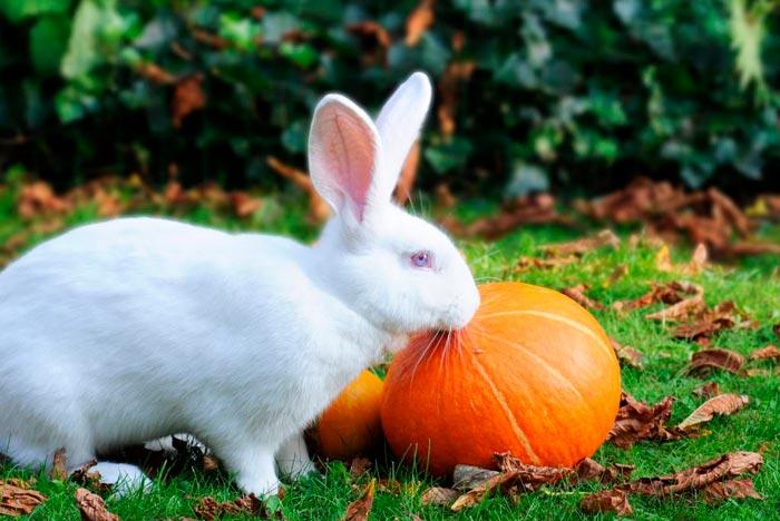 Едят ли кролики тыкву и кабачки