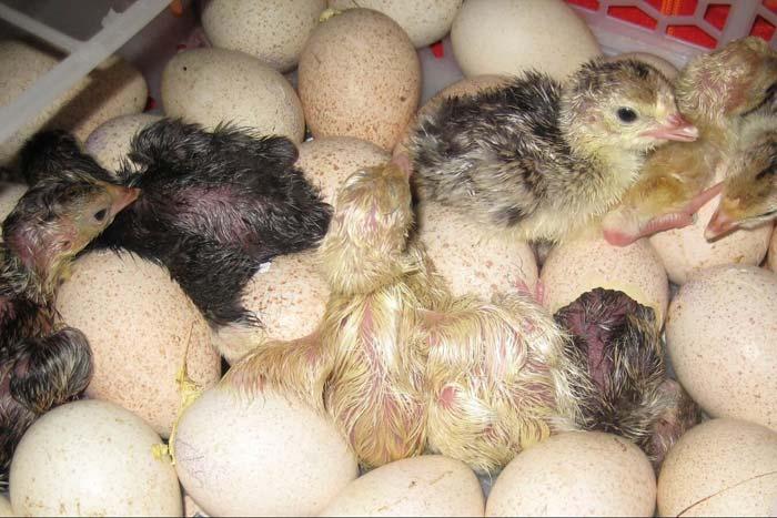 Во сколько месяцев начинают нестись индюшки в домашних условиях, сколько яиц в год дают