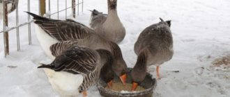 гуси едят зимой