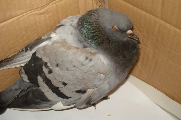 больной голубь