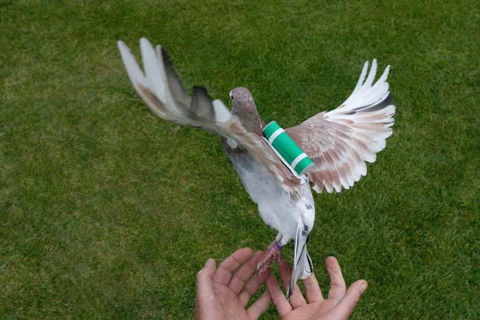 летит голубь