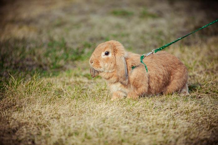 кролик на поводке
