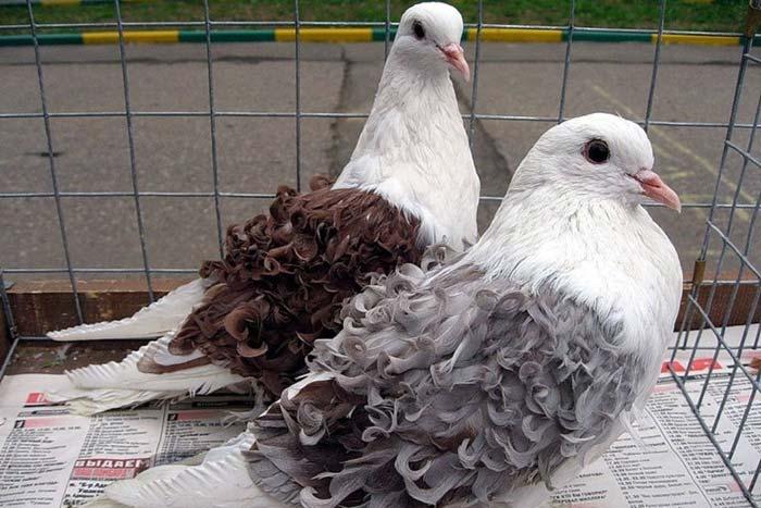 Курчавый голубь