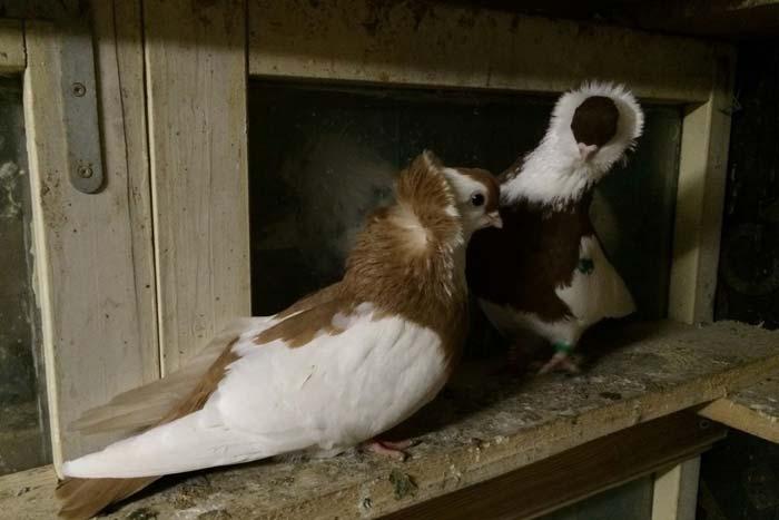 Голубь- его повадки, характер, рацион питания, виды голубей, фото, видео