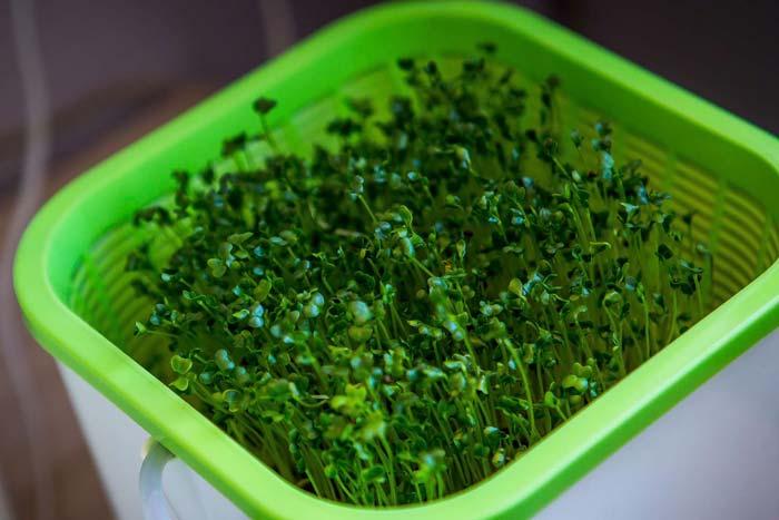 Гидропонная зелень