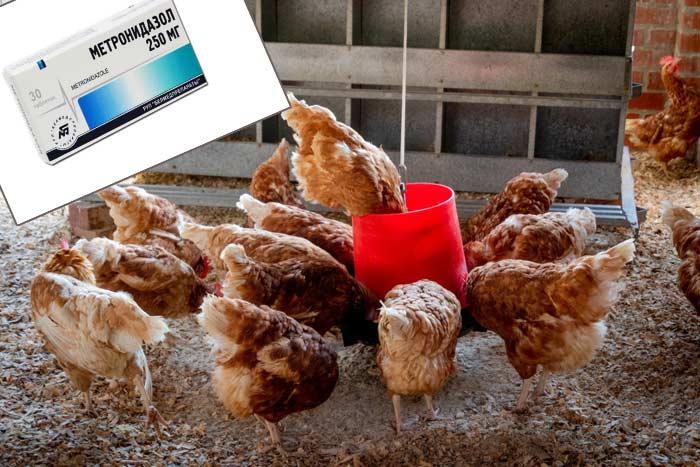 Метронидазол для цыплят в воду
