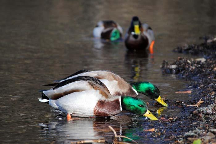Чем можно кормить диких и домашних уток на пруду