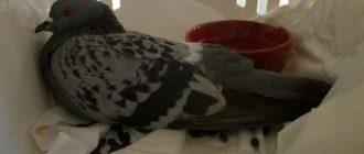 птица больная